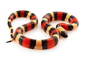 buy-milk-snake-for-sale