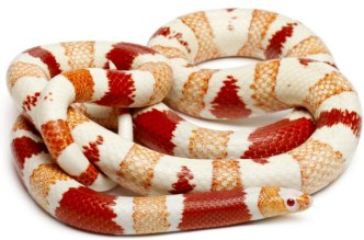 albino-honduran-milk-snake