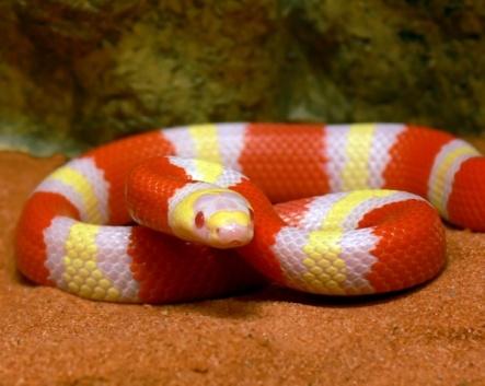 albinohond