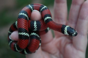 baby_black_milk_snake_by_icantthinkofaname_09-d8kzk93