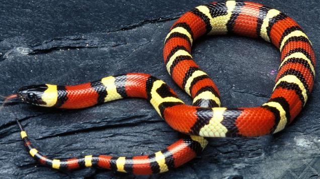 milk-snakes-poisonous_84a13e845ae86d31