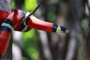 milk_snake_on_a_limb_by_caloxort-d3k7ede