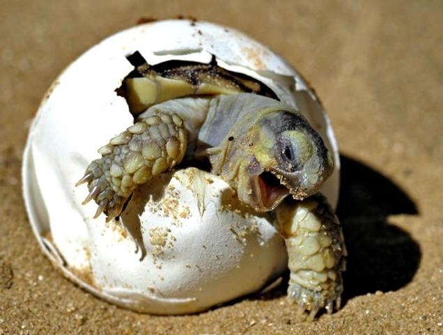 turtle-tortoise-hatching